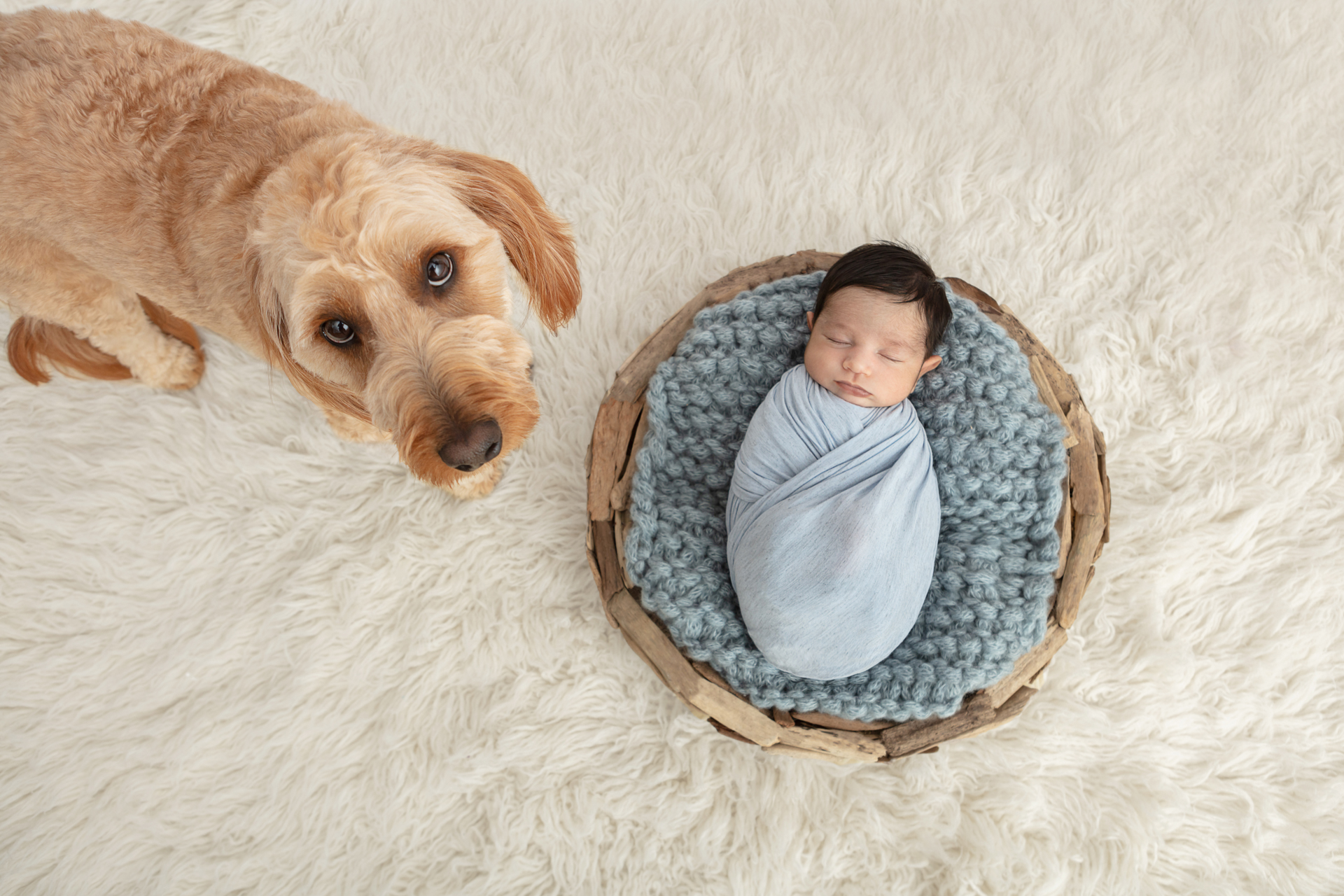 baby boy newborn photography with large ivory colored flokati and mini golden doodle