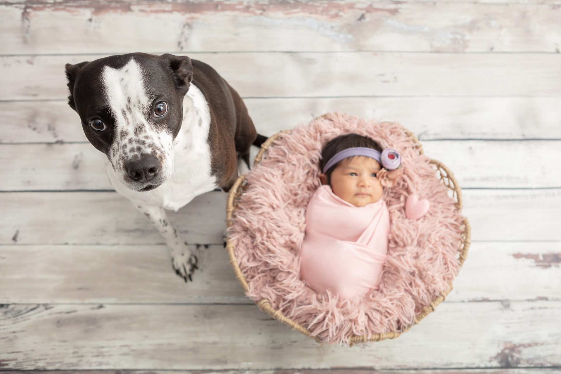Boston Terrier cattle dog mix with his new baby sister who is wrapped in light pink